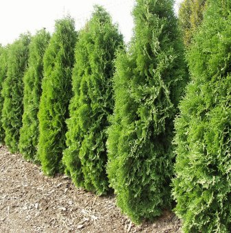 Западна туя malonyana 30-40см /Thuja Occidentalis malonyana /..