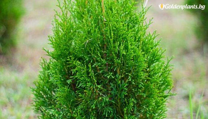Снимка Западна туя malonyana 30-40см /Thuja Occidentalis malonyana /