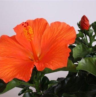 Китайска роза Torino оранжева /Hibiscus Torino /