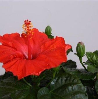 Китайска роза - Червена Marseille /Hibiscus Marseille /..