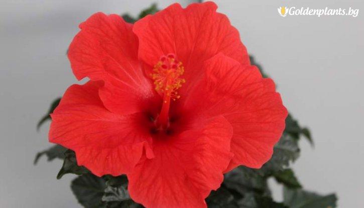Снимка Китайска роза - Червена Marseille /Hibiscus Marseille /