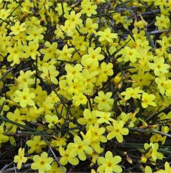 Зимен жасмин /Jasminum nudiflorum/