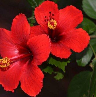 Китайска роза - Червена /Hibiscus Premiere /