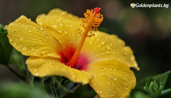 Снимка Китайска роза Жълта /Hibiscus Sorrento /
