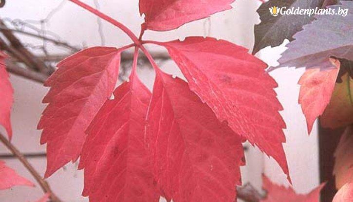 Снимка Дива лоза parthenocissus /Parthenocissus quinquefolia/