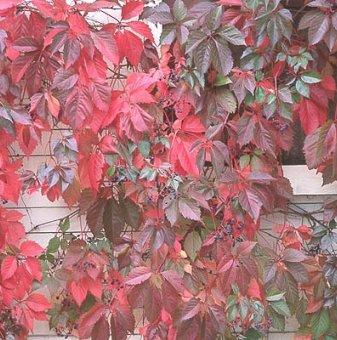 Дива лоза parthenocissus /Parthenocissus quinquefolia/..