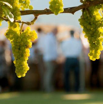 Лоза сорт Шардоне /Chardonnay/ - ранно зреещ