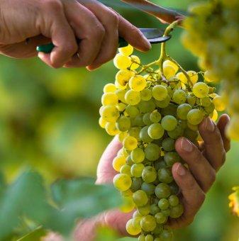 Лоза Катя - бял десертен сорт грозде