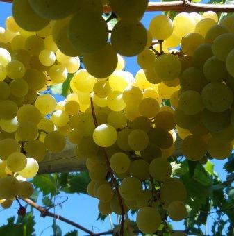 Лоза Армира - бял десертен сорт грозде - ранно зреещ..