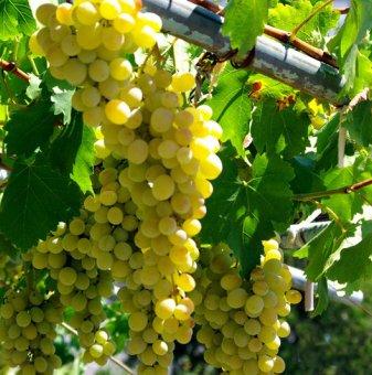 Лоза Болгар - бял десертен сорт грозде - средно зреещ ..