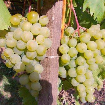 Лоза Дружба - бял десертен сорт грозде, комплексно устойчив - ранно зреещ ..