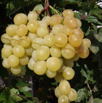 Лоза Италия - бял десертен сорт грозде - средно-до късно зреещ..
