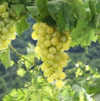 Лоза Приста - бял десертен сорт грозде - ранно зреещ..