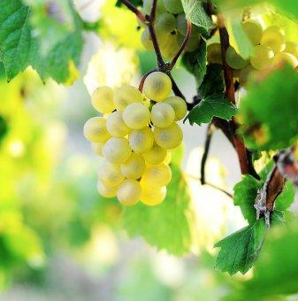 Лоза Надежда - бял десертен сорт грозде - много ранно зреещ..