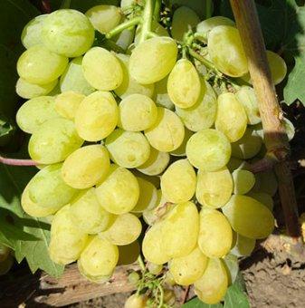 Лоза Супер ран болгар - бял десертен сорт грозде - най-ранно зреещ..