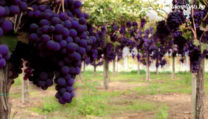 Снимка Лоза Блек Маджик - червен десертен сорт грозде - ранно зреещ