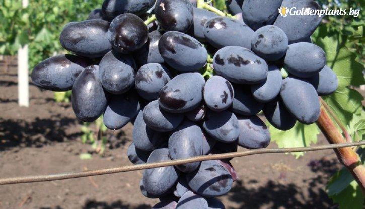 Снимка Лоза Велика - червен десертен сорт грозде - ранно зреещ