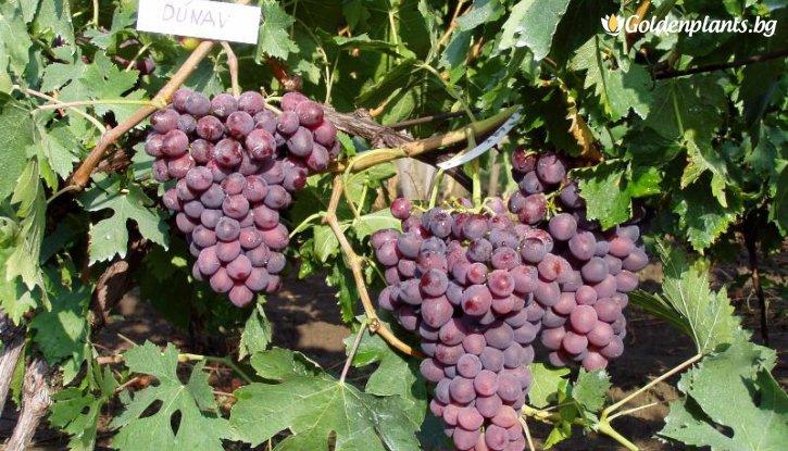 Снимка Лоза Дунав - червен десертен сорт грозде - ранно зреещ