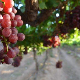 Лоза Дунав - червен десертен сорт грозде - ранно зреещ..