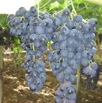 Лоза Палиери - червен десертен сорт грозде - средно зреещ..