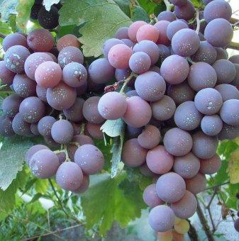 Лоза Кардинал - червен десертен сорт грозде - ранно зреещ..