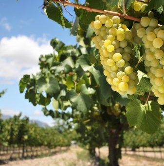 Лоза Хибрид VI-4 - безсеменен сорт грозде - ранно зреещ..