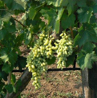 Лоза Блян - безсеменен сорт грозде - ранно зреещ