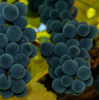Лоза Троя - безсеменен сорт грозде - ранно зреещ