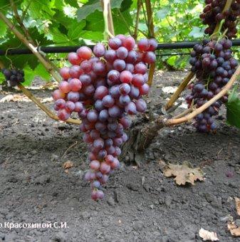 Лоза Кралски рубин - безсеменен сорт грозде - късно зреещ..