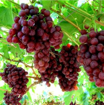 Лоза Флайм сидлес - безсеменен сорт грозде - ранно зреещ..