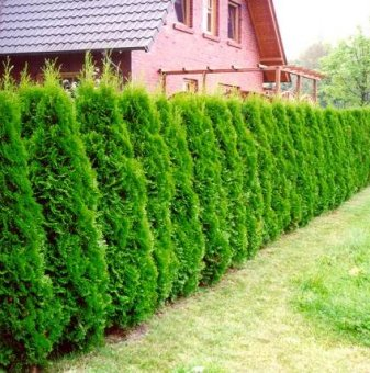 Западна Туя Брабант 90-110см / Thuja occidentalis Brabant /..