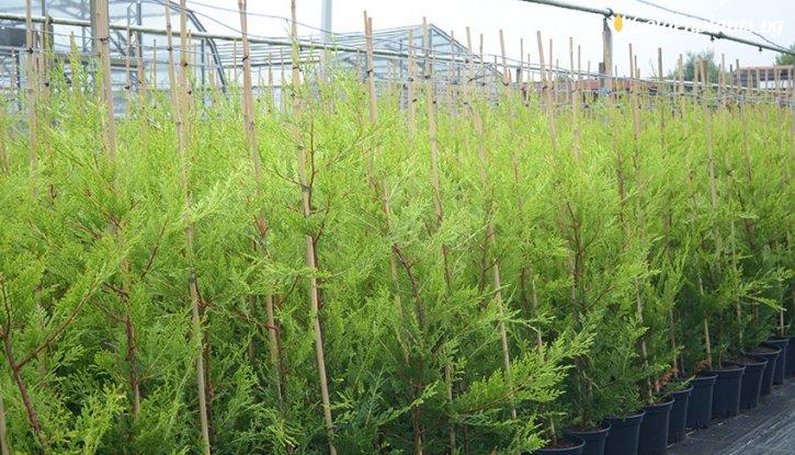 Снимка Лейландски кипарис 80-90 см /Cupressocyparis leylandii/