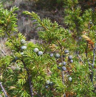 Юниперус Комунис - Синя Хвойна /Juniperus Communis/..