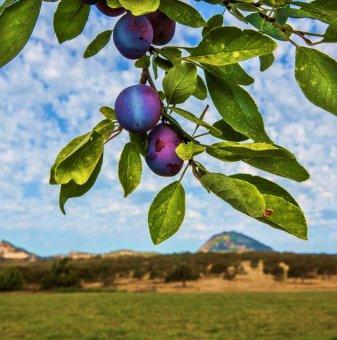 Слива сорт Калифорнийска синя /Plum Californian Blue/..