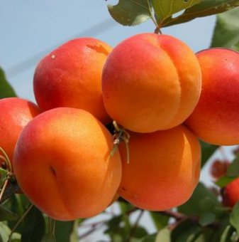Кайсия сорт Харкот /Apricot Harcot/