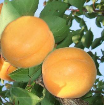 Кайсия сорт Модесто /Apricot Modesto/