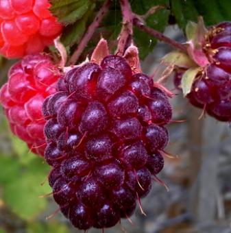 Логанбери 30-40 см / Loganberry/