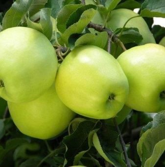 Ябълка сорт Зелена Резистентна