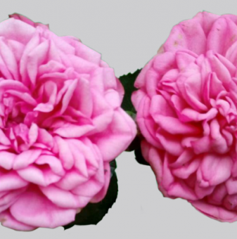 Роза божуреста розова