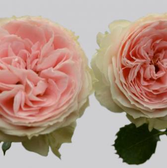 Роза божуреста розовo шампанско...