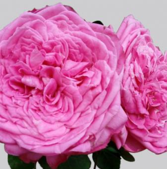Роза божуреста розова едра