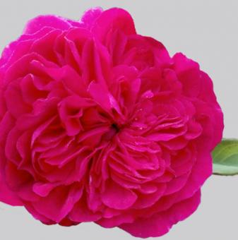 Роза божуреста цикламена ароматна...