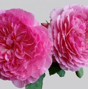 Роза божуреста цикламено розова