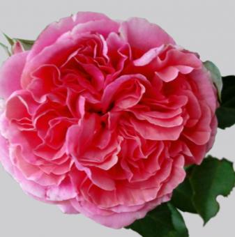 Роза божуреста бонбонено розова