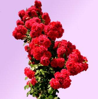 Роза тъмночервена катерлива ароматна