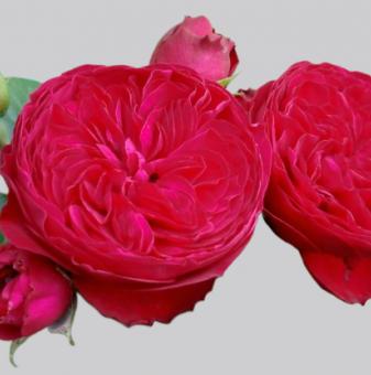 Роза божуреста тъмночервена