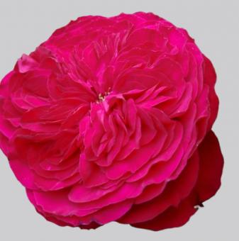 Роза божуреста светлочервена
