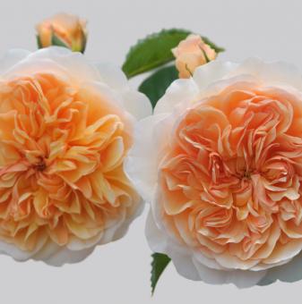 Роза божуреста бяло-жълта