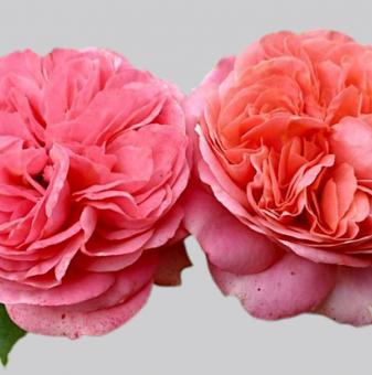 Роза божуреста розово-оранжева