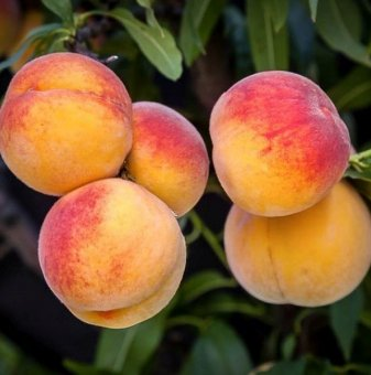 Праскова сорт Елберта /Peach Elberta/
